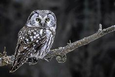 Ugglor i Sverige – så känner du igen dem Lappland, Google Images, Bird, Owls, Animals, Type, Animales, Animaux, Birds