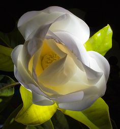 Magnolia, by Alan Sailer Exotic Flowers, Amazing Flowers, My Flower, Flower Art, Flower Power, Beautiful Flowers, Gardenias, Magnolia Trees, Magnolia Flower