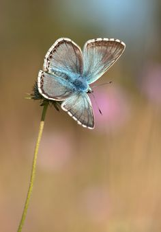One of the last blue butterflies,  Author:	Angela Janssen