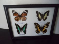 4 Real Asian Butterflies Framed Display by amazinginsects on Etsy
