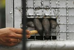 Poaching threatens to drive many species to extinction, which also destroys local economies that depend on wildlife tourism. A keeper gives peanut to an orangutan inside a cage shortly after it arrived from Thailand at Halim Perdanakusuma airport in Jakarta, November 12, 2015. Fourteen orangutans smuggled into Thailand illegally were sent back to Indonesia on Thursday, but the operation was not without incident -- one of the powerful apes tore a wildlife officer's finger off when he tried…
