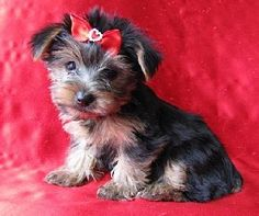 Chorkie Puppy! How cute!! I really want this dog! Love it
