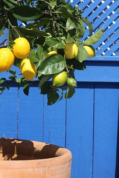 Some people wake up to flowers! I wake up to a lemon tree! Thanks baby💋❤🍋 Oranges And Lemons, For Love And Lemons, Citrus Trees, Fruit Trees, Lemon Curd Dessert, Fruit Photography, Summer Aesthetic, Fruit And Veg, Lemon Lime