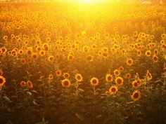 sunflower pictures | Sunflower Posters Buy a Poster