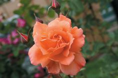 Westerland rose' new to my garden