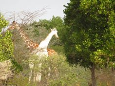 The Rothschild giraffe, which has lost pigmentation in its hide because of a rare conditio...