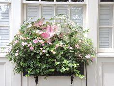 shade window box inpatients ivy charleston sc caladiums