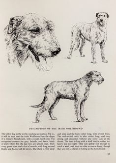 Irish Wolfhounds Hound Dogs. Vintage Black and White Pencil Sketch or Monochrome Print by Bridget Olerenshaw
