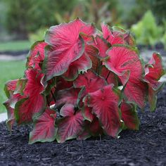 Big color for shade gardens! The blazing scarlet red foliage gets more beautiful as the summer progresses.