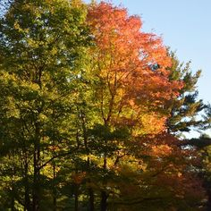 Summer and Fall, Gatineau Park. Canada Summer, Summer Trees, Maple Tree, Wakefield, Ottawa, Quebec, Nikon, Autumn, Photo And Video