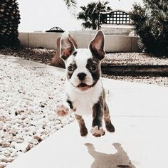 The major breeds of bulldogs are English bulldog, American bulldog, and French bulldog. The bulldog has a broad shoulder which matches with the head. Bulldog Puppies, Cute Puppies, Dogs And Puppies, Cute Dogs, Doggies, Animals And Pets, Baby Animals, Cute Animals, Puppy Care