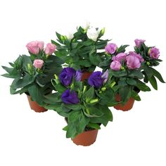 Különböző színekben kapható ✓ Nagyvirágú préritárnics színkeverék cserépátmérő: kb. 105 cm Eustoma grandifloru ➜ További virágzó növények az OBI -nál