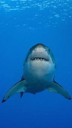 Haie am Rande des Daseins Save The Sharks, Cool Sharks, Cute Shark, Great White Shark, Whale Sharks, Shark Jaws, Shark In The Ocean, Shark Photos, Funny Shark Pictures