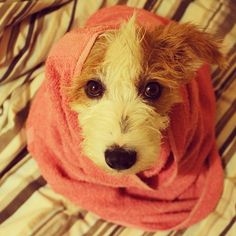 """Ginny's after bath """"I can't believe you just did that to me you mean inferior human"""" look. If you insist on rolling in disgusting things on our walks Ginny, then I will bath you. - @ginny_jrt- #webstagram"""