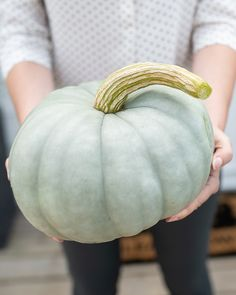 JarrahdalePumpkin patches have always gone hand-in-hand with the Autumn season.  In the last few years we've seen a huge jump in the variety and hues of squash and pumpkins headlining patios and front doors. I've scoured the seed catalogues to find the most interesting pumpkins and squash to grow.  See all the pumpkins on the blog: www.westcoastgardens.ca (Surrey BC) #pumpkins #fall #autumn #squash #homedecor -