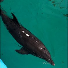 Nicholas, one of the rescued dolphins at the Clearwater Aquarium.
