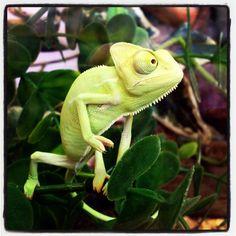 Baby Yemen chameleon at Northampton Reptile Centre