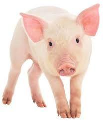 Afbeeldingsresultaat voor varken