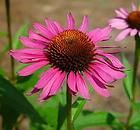 Discover Life's page about the biology, natural history, ecology, identification and distribution of Echinacea purpurea - Eastern purple coneflower -- Discover Life Vegetative Reproduction, Viburnum Opulus, Mail Order Plants, Growing Sunflowers, Small Nurseries, Plant Cuttings, Plant Information, Hardy Perennials, Ornamental Plants