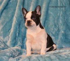 Charlie Our French Bulldog Puppy - Pedigree Puppies For Sale