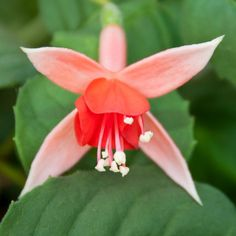 Fuchsia 'Orange Blossom'