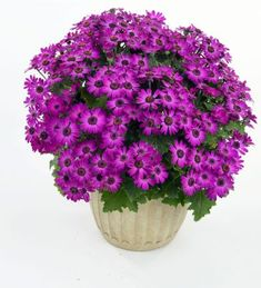 Senetti 'Primavera Violet' Cabbage, Vegetables, Garden Planning, Cabbages, Vegetable Recipes, Brussels Sprouts, Veggies, Sprouts