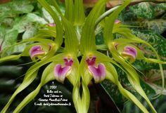 Bulbophyllum virescens