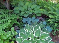 fern and hosta garden