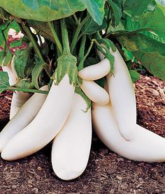 I just ordered our cresent moon white eggplant!!!  Nana would be so proud!