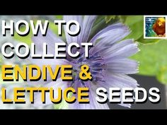 COLORFUL CANARY - Organic And Natural Living: How To Collect Endive & Lettuce Seeds - Gardening
