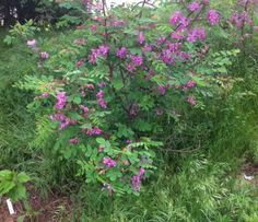Robinia hispida, known as the Bristly Locust, Rose acacia, or Rose locust, is a shrub or small tree in the subfamily Faboideae of the pea family Fabaceae, native to the southeastern United States.