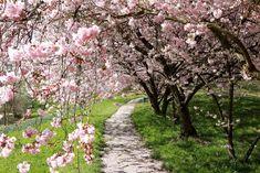 Pixabay - Mehr als Millionen Gratis-Fotos zum Herunterladen Pink Blossom, Cherry Blossom, Cherry Apple, Google Images, Sidewalk, Plants, Blossoms, Postcards, Club