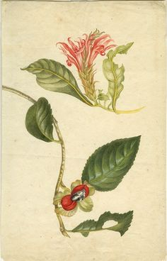 Watercolor floral difficult definable branches and afelyandry acanthus family (Aphelandra deppeana [?]) 1700–1702. Maria Sibylla Merian: Leningrader Aquarelle. Leipzig, 1974. Bd.1. Taf.25.