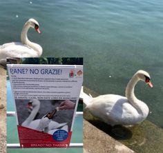 """""""Pane? No grazie! Se amate i cigni, non date loro da mangiare"""": è lo slogan della campagna di sensibilizzazione lanciata dal Comune di Sarnico"""