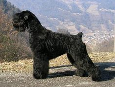 Black Russian Terrier, not to be confused with Giant Schnauzer.