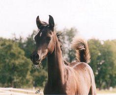 Helala Bint Salua (BKA Il Nero x Salua) 2003 black filly