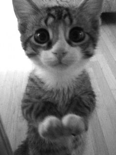Adorable Begging Kitten