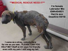 03/17/16-SUPER URGENT!! Houston, Save Lives is our Mission with Care 2 Adopt · **URGENT CALL TO SAVE THIS STILL FRIENDLY AND SWEET LABRADOR MIX AT HARRIS ACO, IN NEED OF MEDICAL CARE** this baby came as a stray yesterday 03/16, seems she never was cared for, many of our strays suffered in silence when many see them around getting more sick everyday, thinking, someone else will help, better be on the streets than a shelter...do you thin