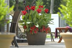 Canna and Caladium make a perfect combo in containers & gardens. Plant in spring for color all summer long!