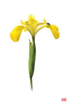 "Mononychus pseudo-acori ""hana""- Charançon des Iris galopant sur sa plante hôte Stéphane Hette"