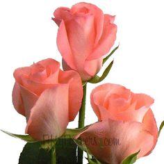 FiftyFlowers.com - Watermelon Sugar Sweetheart Rose