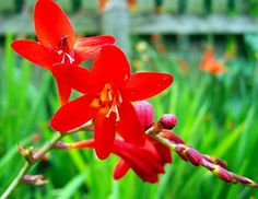 Emberglow Crocosmia - 5 Bulbs 10/+ cm - Bright Red