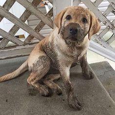 Mom I promise I didn't play in the mud By @labrador_class #Labrador #labradorretriever