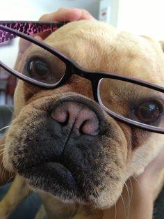 """I'm wearing Glam ma 's glasses!"", Fancy Pants, the French Bulldog"