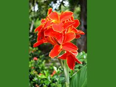 If you have a moist soil in garden, here is a list of flowers that can grow in wet soil. There are some wonderful plants and flowers that grow best in moi Exotic Flowers, Amazing Flowers, Red Flowers, Fleurs Canna, Free Pictures, Free Images, List Of Flowers, Tropical Plants, Gardens