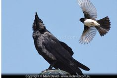 Willie Wagtail swooping a raven