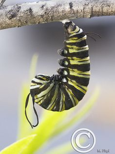 A monarch caterpillar can safely form its chrysalis on the thick branches of rooster tree milkweed.