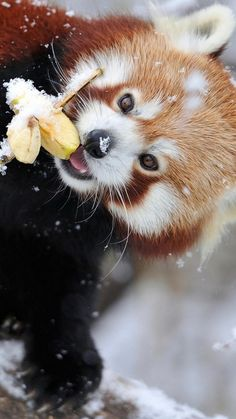 panda, tree, branch, snow
