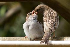 Vogel foto: Passer domesticus / Huismus / House Sparrow