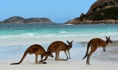Kangaroos on the beach at Lucky Bay, Esperance